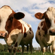На исилькульской ферме внедрили инновационную систему управления стадом